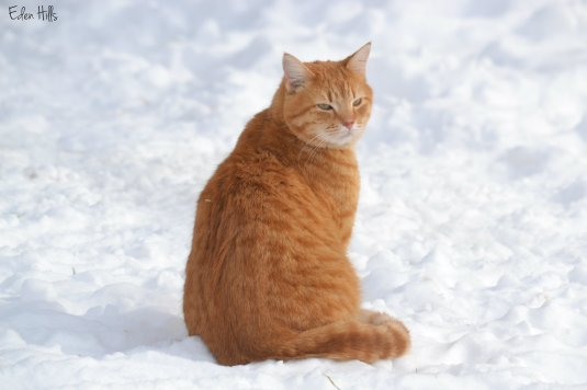 orange cat in snow
