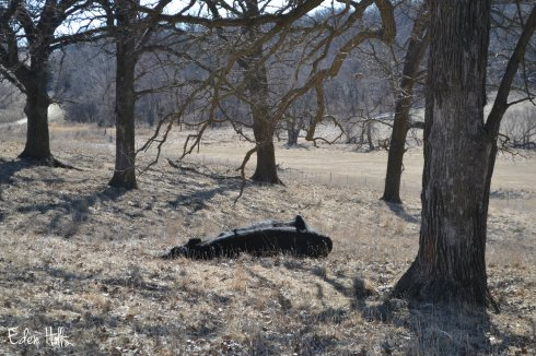 steer sleeping in pasture
