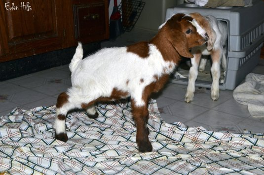 goat kid peeing in kitchen