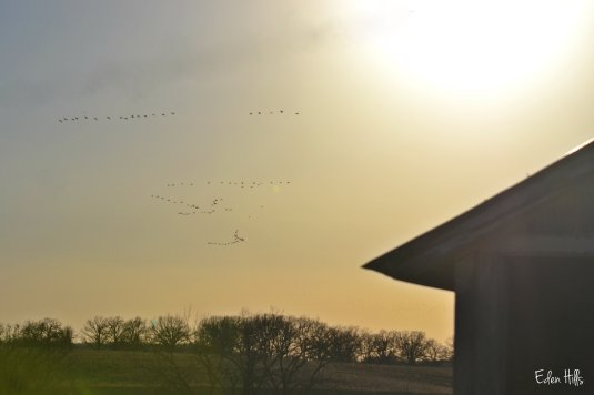 geese flying in sunset
