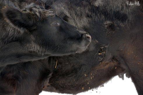 Angus/Gelbvieh cross heifer