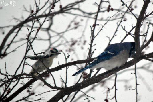 blue jay and downy woodpecker