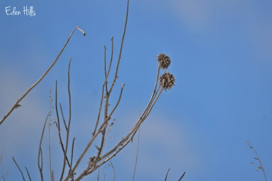 dead thistle against sky