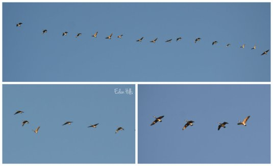geese collage