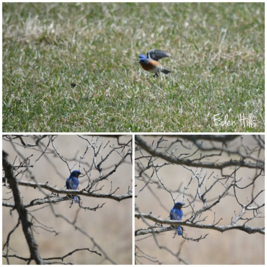 bluebird collage