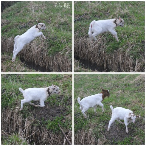 goat kid jumping