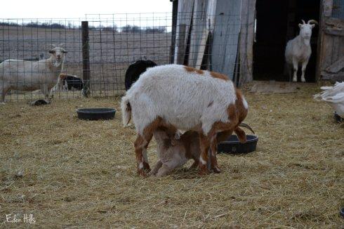doe goat nursing kids