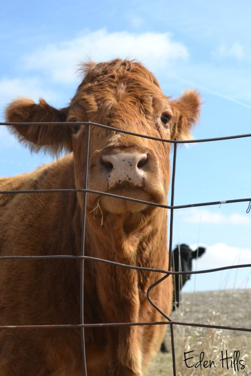 cow looking over fence