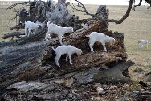 goat kids on tree stump