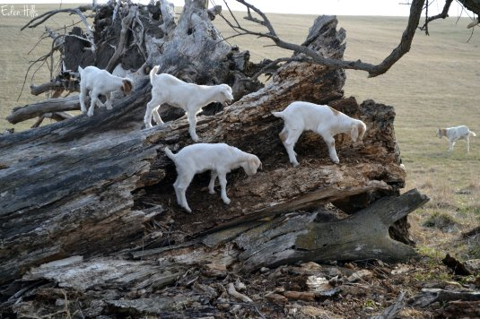 goat kids on tree stump