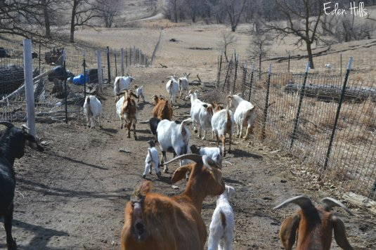 goats going to pasture