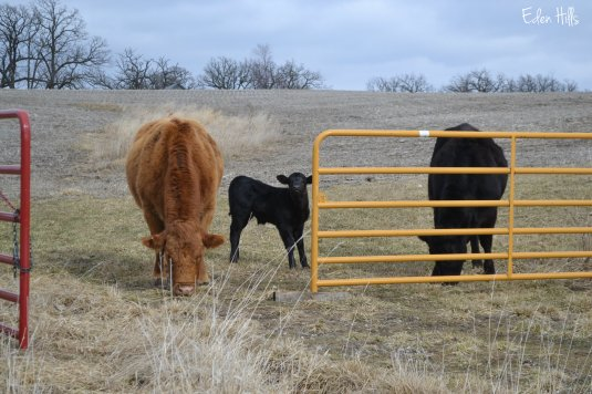 cows and calf by gate