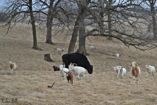 steer and goats in pasture