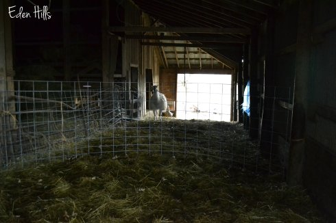 cattle lean-to on barn
