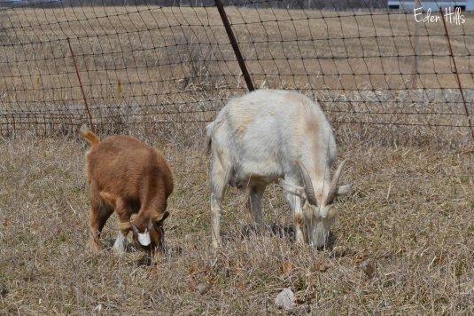 doe goats