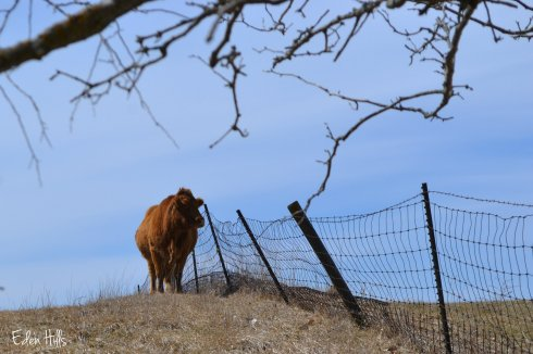 cow by fence
