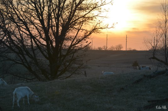 goat pasture at sunset