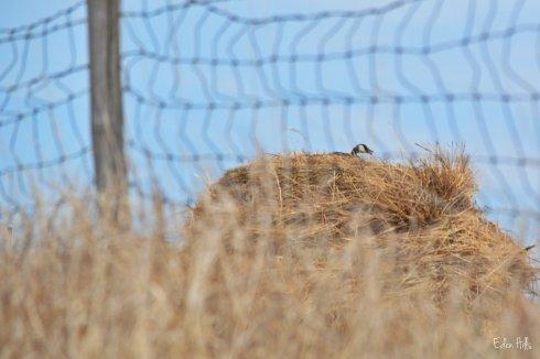 Canada goose on haystack