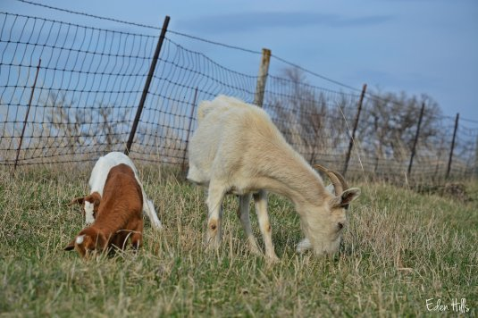 goats browsing in pasture
