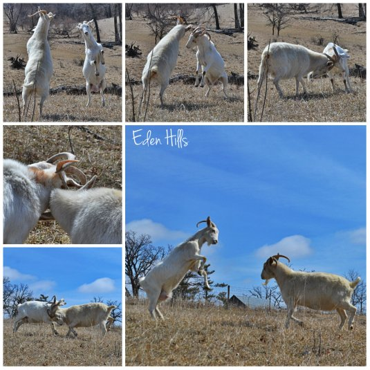 doe goat fight collage