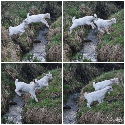 goat kid Jumping collage