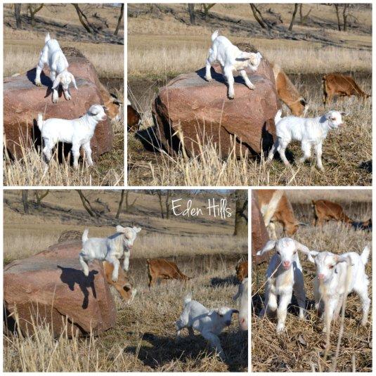goat kid rock collage
