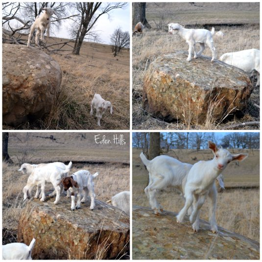 goat kids on rock collage