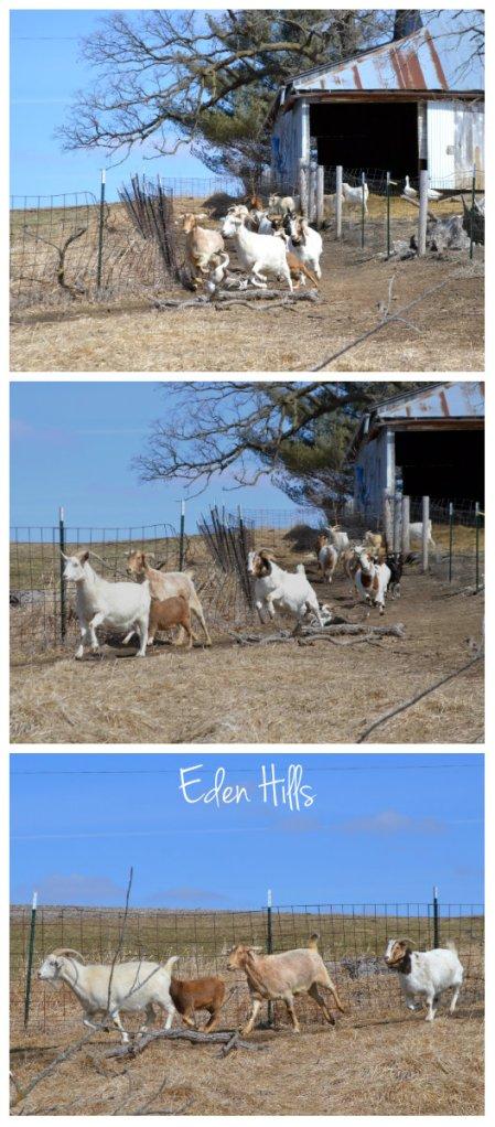 running goat collage
