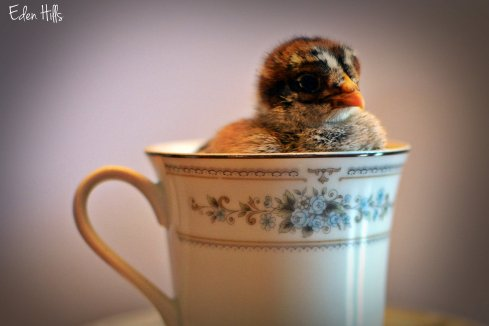 chick in a teacup