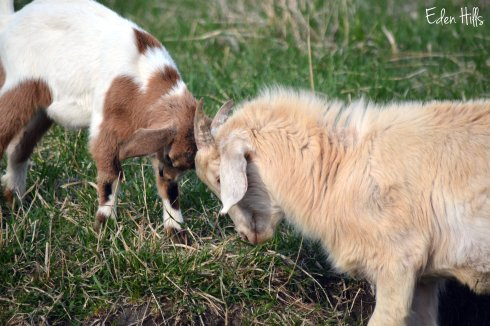 goat kids playing