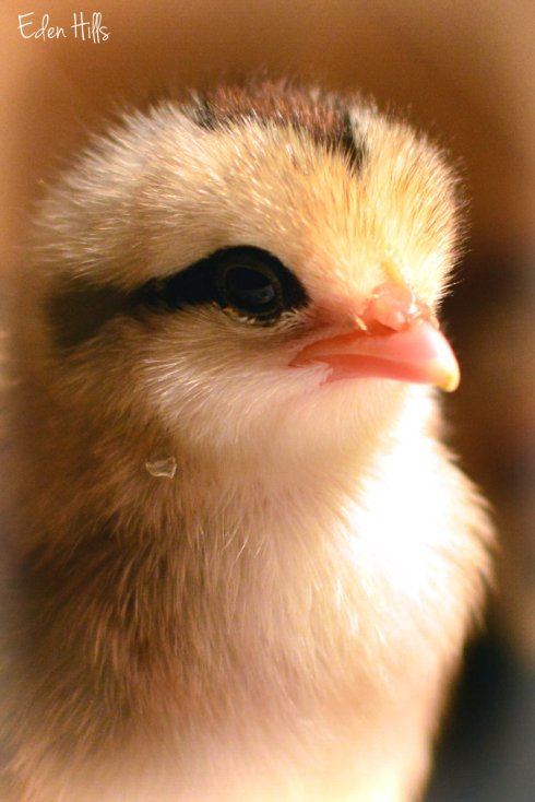 day-old chick