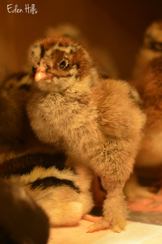 feather-footed chick