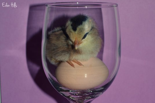 chick & egg in wine glass