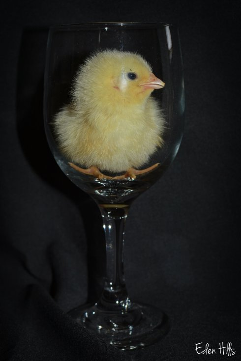chick in wine glass