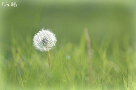 Dandelion 60ew