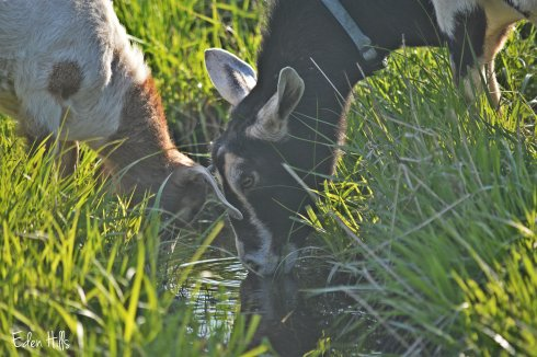 doe goat and kid drinking