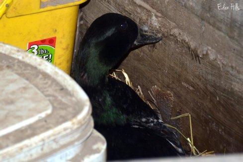 Duck hen 15ew
