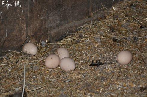 Eggs peacock 105aw