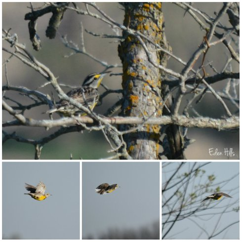 meadowlark collage