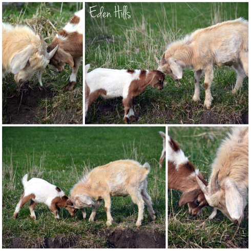 goat kids playing collage