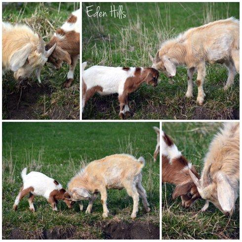 goat kids playing collage