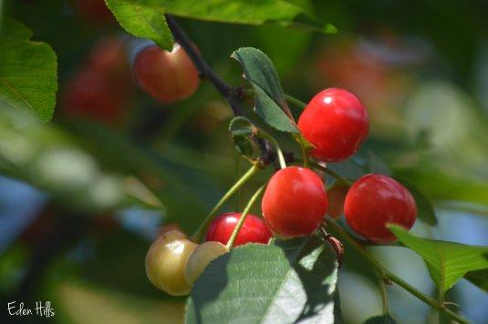 Cherries 8aw