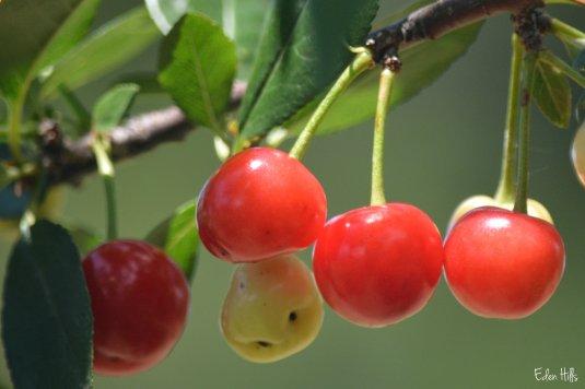 Cherries 9aw