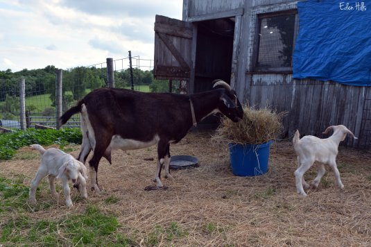 dairy goat and kids