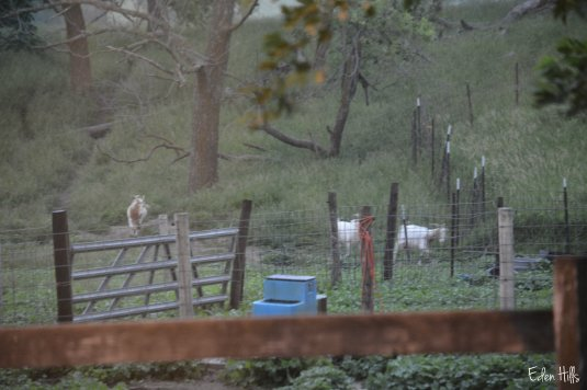 goats running in rain