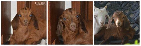 goat ear listeria