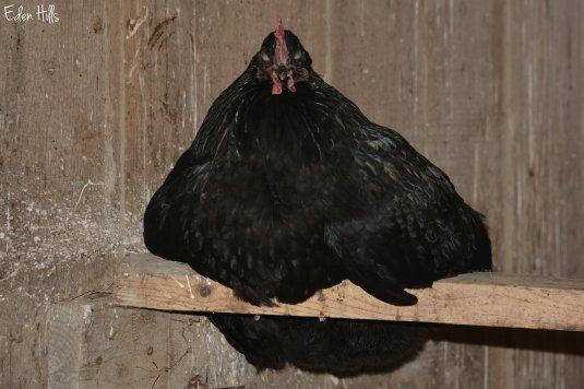 Hen roosting