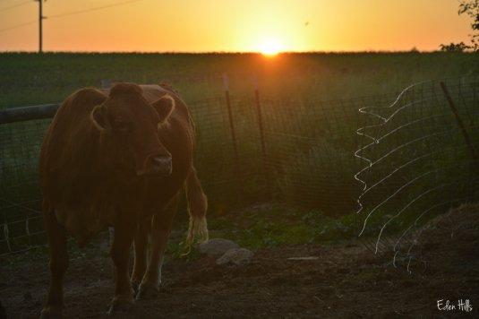 purebred Gelbvieh cow