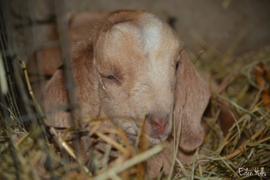 newborn doe goat