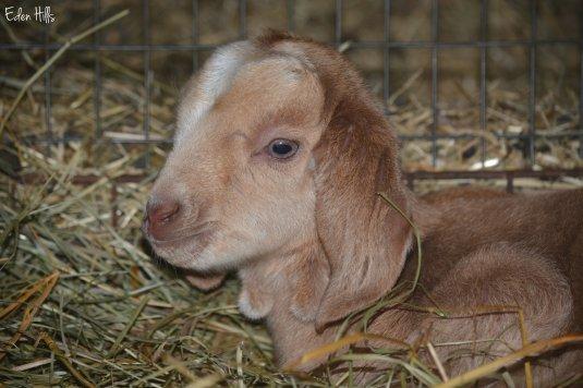 doeling goat